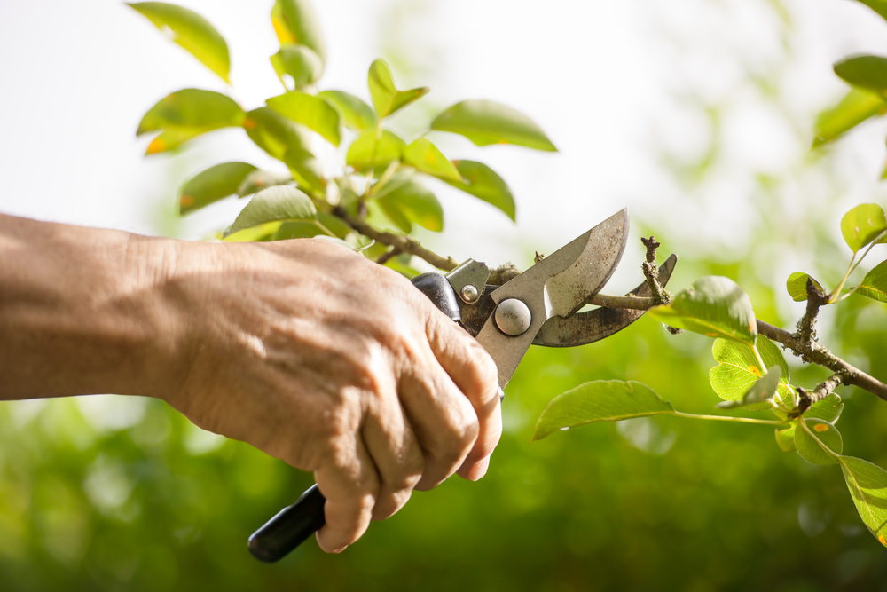 What's The Difference Between Trimming Versus Pruning